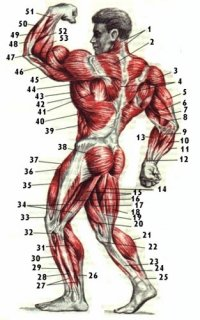 Расположение мышц на теле человека.